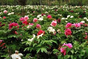庭院花卉种植 观赏牡丹苗 菏泽多禾牡丹