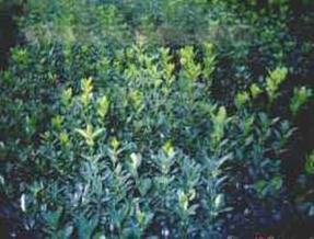 供应大叶黄杨、大叶黄杨苗、大叶黄杨球、大叶黄杨工程苗、别名冬青