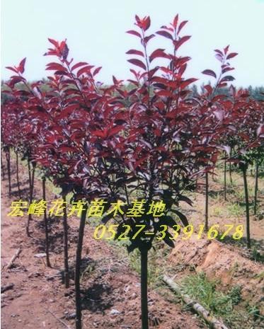 彩叶绿化苗木 各种花卉盆景图片