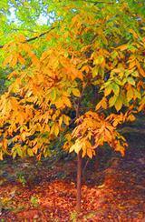 供应胸径8-20公分小糙皮山核桃绿化树(2013-2014)