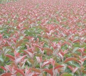 海棠苗,北美海棠,流苏苗,樱花苗,果树苗,木瓜海棠