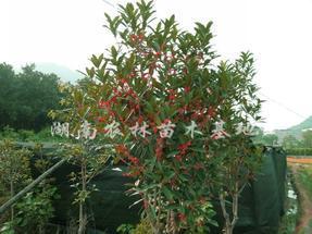 最新火红丹桂2012价格,红花丹桂新品种