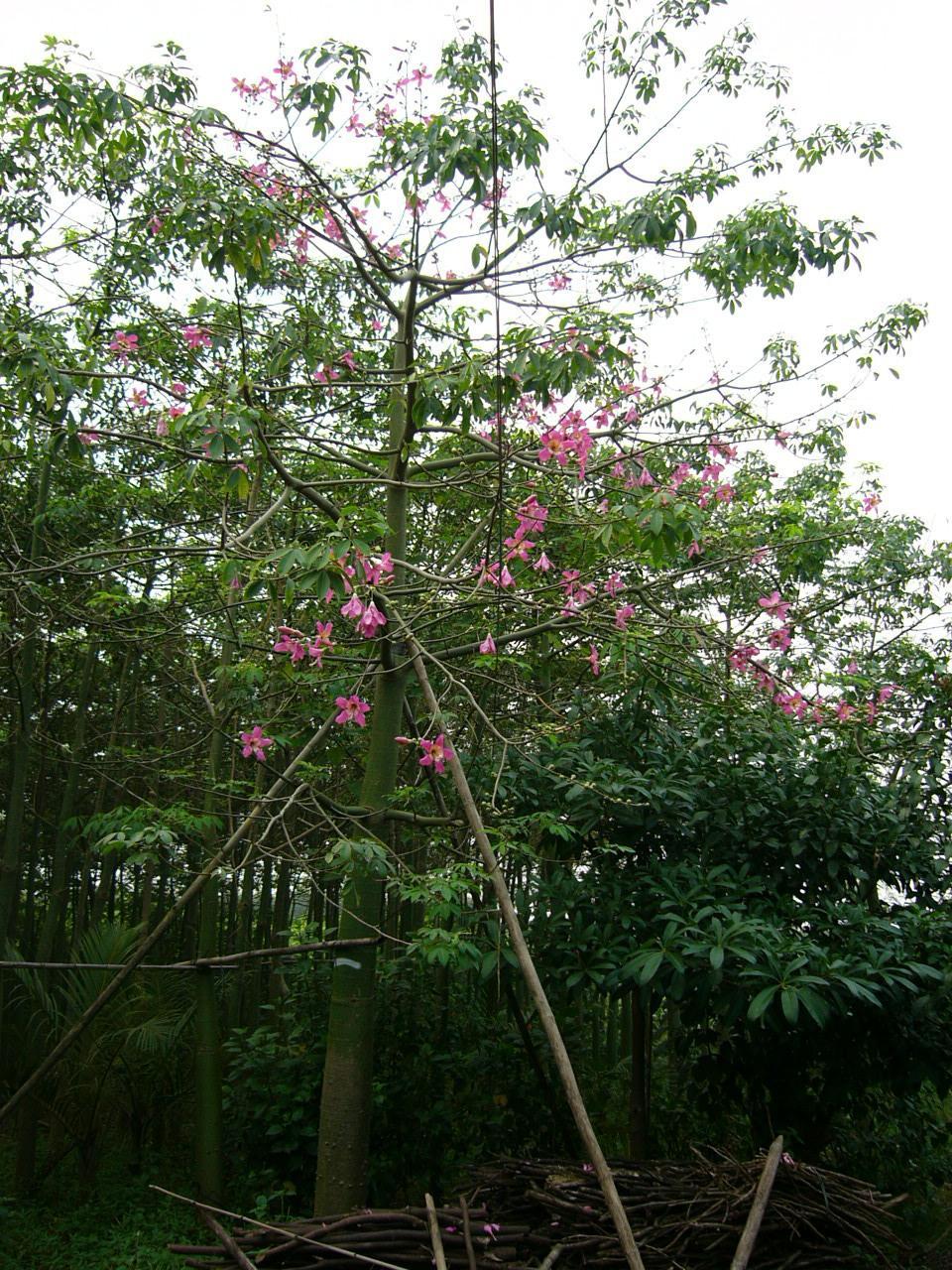 大叶榄仁 面议 美丽异木棉 面议 鸡冠刺桐 面议 黄槿 面议 秋枫树桩