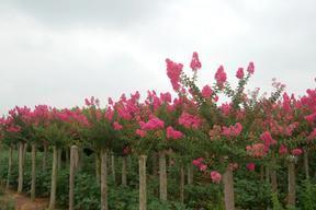国旗红紫薇树大规格出售: