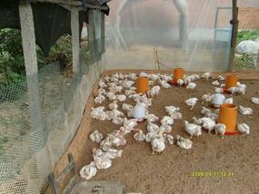 发酵床养猪养鸡及养鸭技术