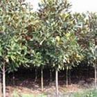 西安园林-西安苗木价格、西安花卉价格、西安花木价格表