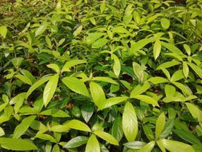 金丝楠木苗栽培、金丝楠木树苗繁殖