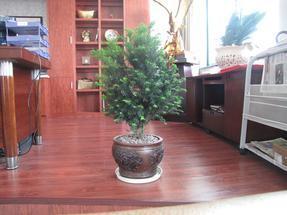 曼地亚红豆杉盆景、盆栽