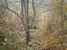 专供3-25cm木瓜树