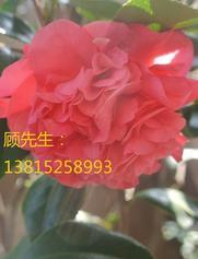 红枫,青枫,三角枫苏州别墅绿化工程、私家别墅花园设计、花园庭院设计施工