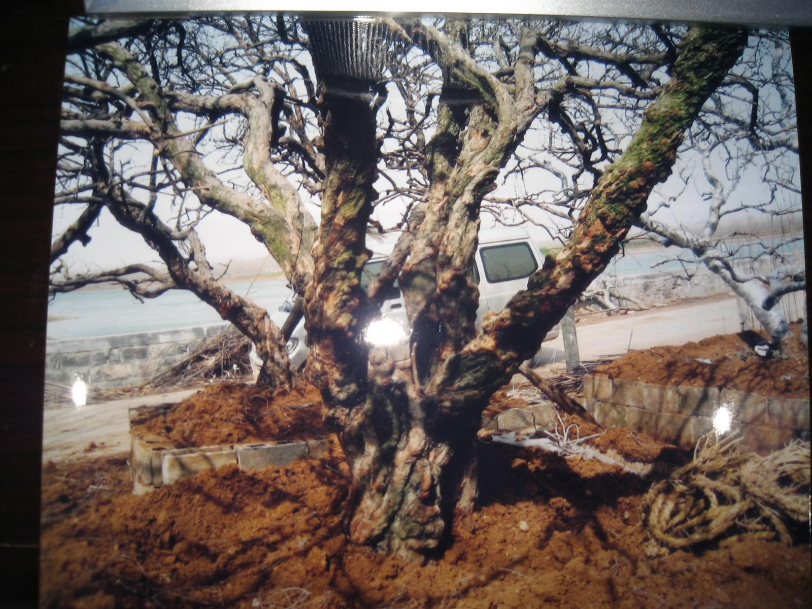 出售各种规格:石榴树,枣树,柿树,樱桃树,银杏树等收藏