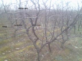 3-10公分的苹果树 山楂树
