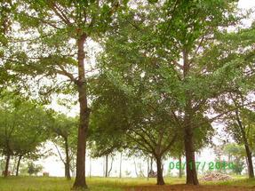供应大规格银杏苗木