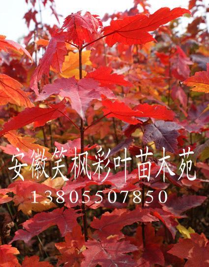 美国红枫小苗