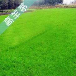 园林绿化草坪草籽 进口高羊茅 黑麦