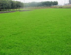 丰台草坪销售北京卖草坪密云铺草皮