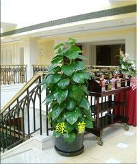 佛山市办公楼室内花卉、植物、绿植、花木租摆、盆栽、租赁、出租