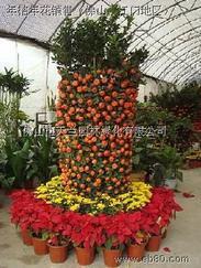 佛山禅城、南海、顺德各区出售年桔盆景、朱砂桔、桔子树、年桔、年花