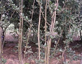 西府海棠|花灌木类苗木|绿景西府海棠