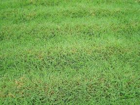 百慕大草皮-提供施工养护