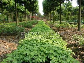 供应桂花园林育苗技术