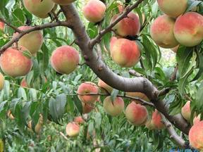 供应3-15公分桃树品种桃树苗桃树苗价格