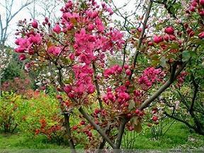 大量供应海棠等苗木