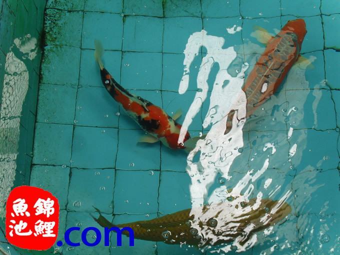 北方锦鲤鱼池设计建造