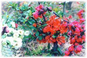 供多色海棠花盆景、树型长寿冠