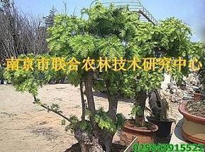 供应红豆杉树桩盆景