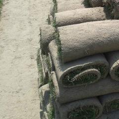 草坪价格/草坪种植基地最公道