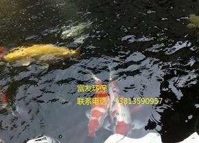 锦鲤鱼池生物过滤净化,真正做到养鱼常年无需换水,水质依然清澈见底