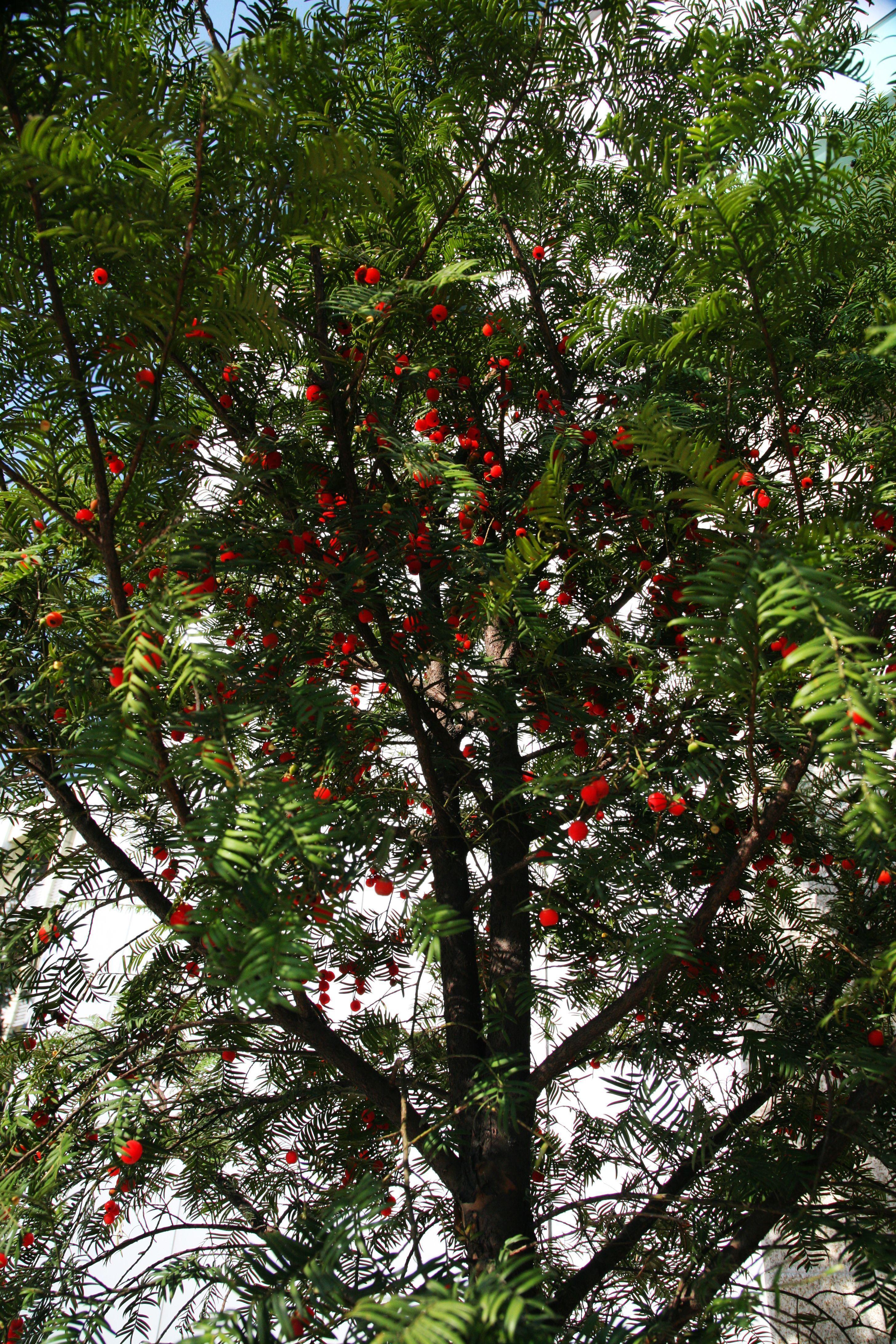 红豆杉苗木-江苏红豆杉生物科技有限公司; 红豆杉图片; 江苏省无锡市