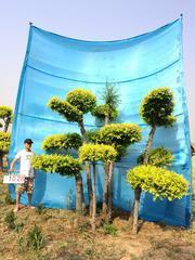 衡天水德润景观 造型金叶榆/景观树/造型树