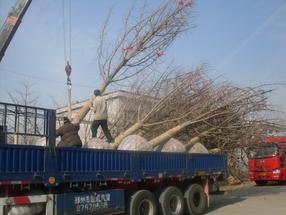 30cm银杏树价格咨询江苏银杏www.yinxing3.com