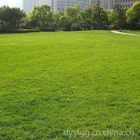 石家庄厂家批发抗旱耐盐碱护坡高羊毛草坪绿化草种