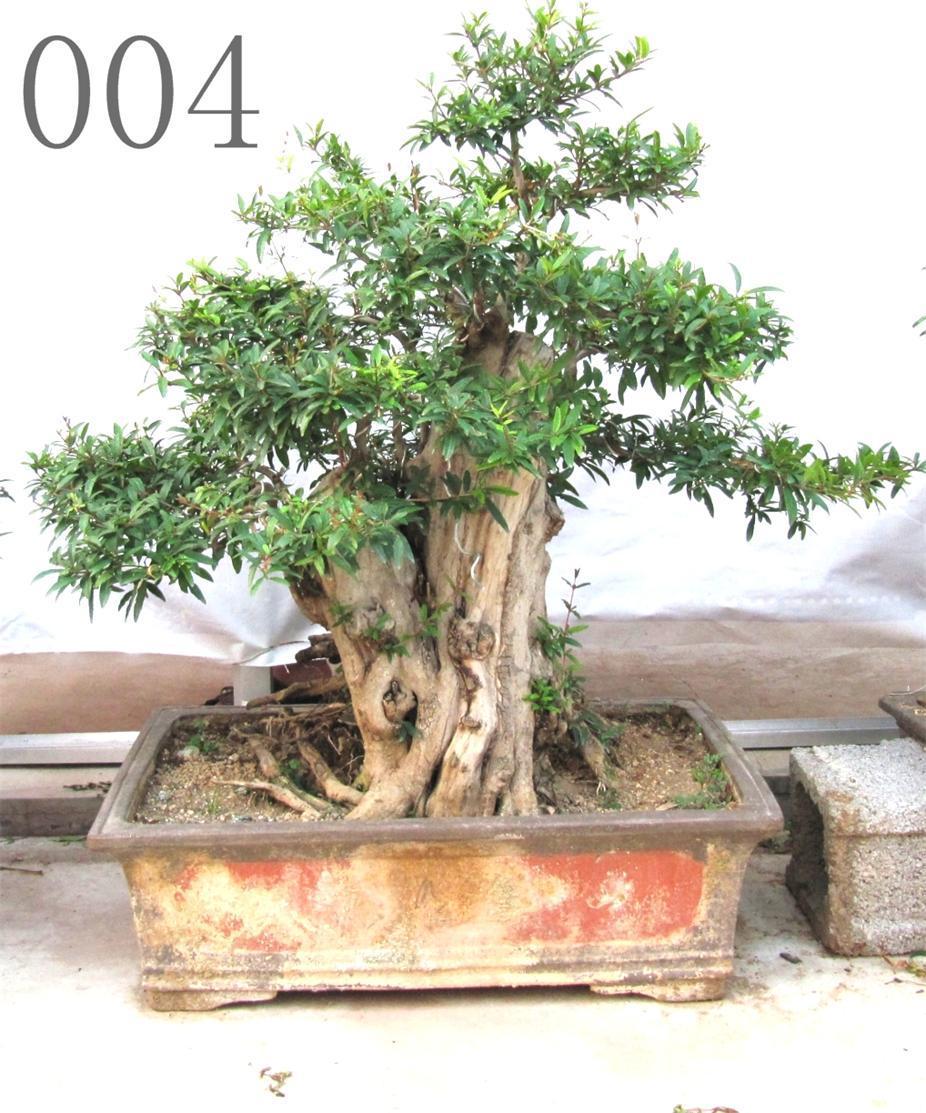 石榴古树盆景