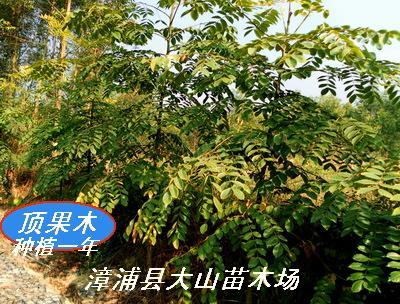 落叶大乔木,大树具板状根图片