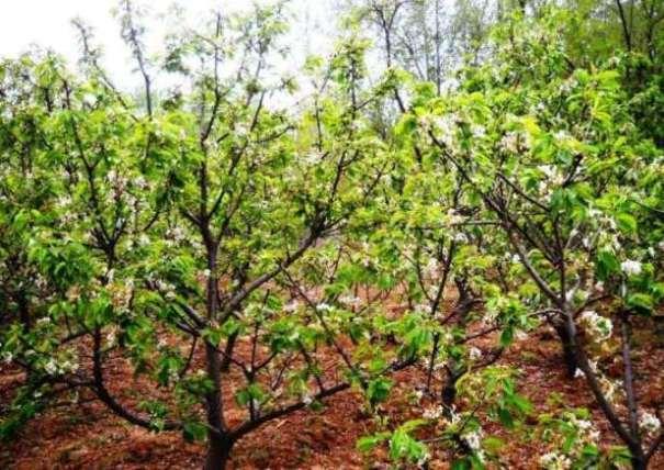 径8 12公分大樱桃树图片