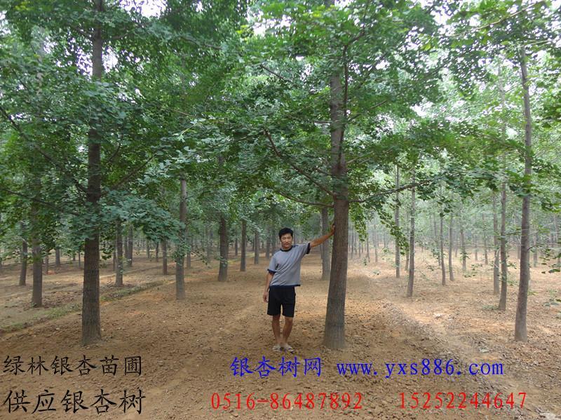 Φ25公分银杏树