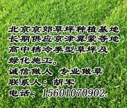 海淀草坪 海淀草坪厂家 海淀销售草坪 海淀高档草坪 早熟禾草坪 高羊茅草坪