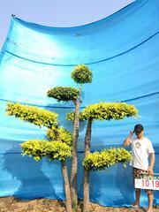衡水德润景观  造型金叶榆---景观造型树
