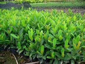 湖南绿化苗木法国冬青珊瑚兰价格
