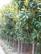 供应:广玉兰,白玉兰,紫玉兰等苗木