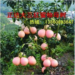哪里有三红蜜柚苗出售,正宗三红蜜柚苗良心价格