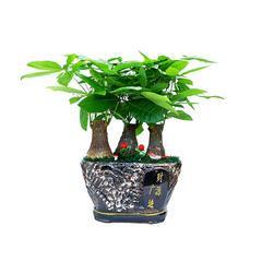 武汉树木销售彩叶树木观花大树四季常青常用树苗樱花树送货