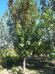 哪里有八棱海棠树