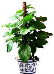 室内绿色植物、各种时令花草(可送货上门)
