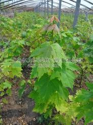 2012年美国红枫穴盘苗5.98销售