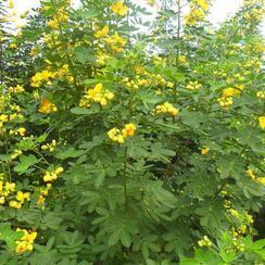 南宁 景龙生态大量批发黄花槐等灌木种子